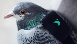 监测空气污染的鸽子