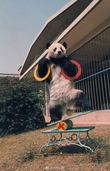 """""""盼盼""""原型传奇大熊猫巴斯去世 享年37岁"""