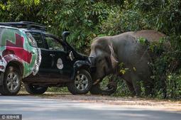 泰大象横穿马路掀开路障汽车 霸气十足
