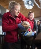 加拿大放生小海豹 头顶卫星跟踪小帽子
