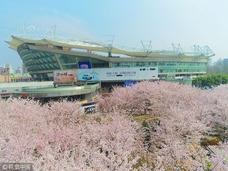 """上海现""""最美地铁口"""" 樱花环绕美不胜收"""