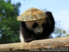 """大熊猫宝宝化身""""功夫熊猫""""萌翻天"""